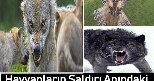 Hayvanların Saldırı Anındaki Yüz İfadeleri