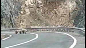 Boz ayı, yavrularıyla karayoluna indi