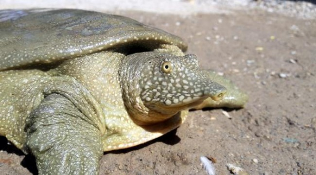 Adıyaman'da nesli tükenmekte olan Fırat kaplumbağası bulundu
