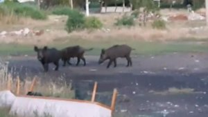 Ayvalık ilçe merkezine inen domuzlar tedirginlik yarattı