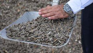 Sivas'ta ayçiçeğinin ekim alanı genişliyor